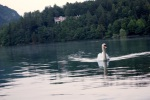 The Swan At The Lake Of Bled