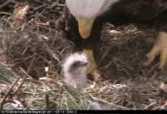 Eagle hatched